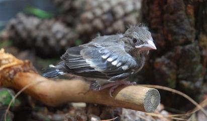 Los investigadores hallan una nueva especie endémica de pinzón en Canarias