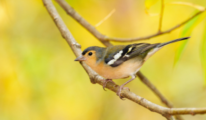 Chaffinches on the Canary Islands: A new subspecies on Gran Canaria