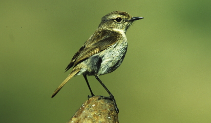 Video interview talking about the Canary Islands stonechat (in Spanish)